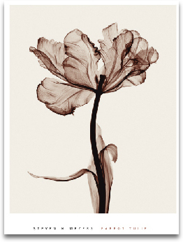 PARROT TULIPS I preview