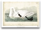 Trumpeter Swan I