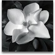 Magnolia - 18x18