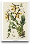 Spring Orchid I