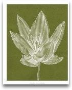 Monochrome Tulip VI