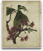 Antique Fringe Tree
