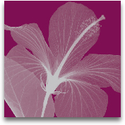 HIBISCUS/SILVER