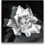 Gardenia - 18x18