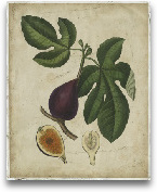Antique Fig Tree
