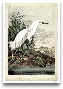 Snowy Heron
