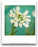 White Flowers III