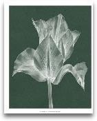 Monochrome Tulip IV