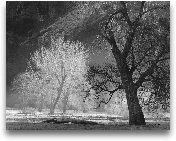 Late Sun On Oaks - 28x22