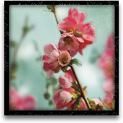 Quince Blossoms III