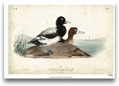 Audubon Ducks III