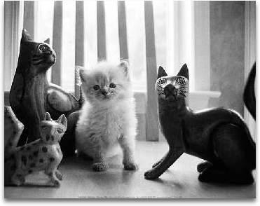Ragdoll Kitten preview