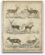 Species Of Deer