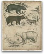 Species Of Bear