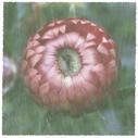 Lyon Flower IV